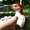Red-bellied Woodpecker (Hand-feeding)