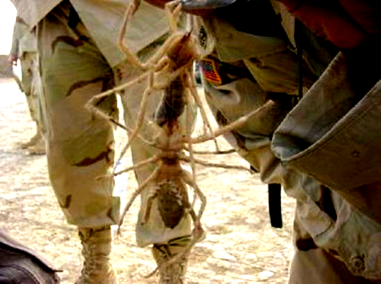 http://drkaae.com/InsectCivilization/assets/Chapter_3_Scorpions_Whiptails_Harvestmen_files/image021.jpg