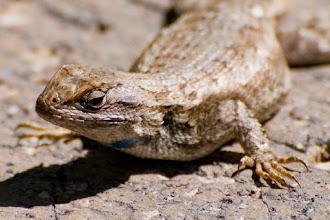 Photo: Lizard on stone wall  06/08
