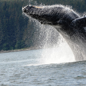 Breaching Whale by Larry Chipman - Animals Other Mammals (  )