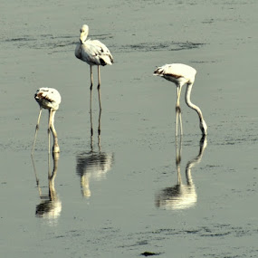 by Drrashid Taj - Animals Birds ( water, odd,  )