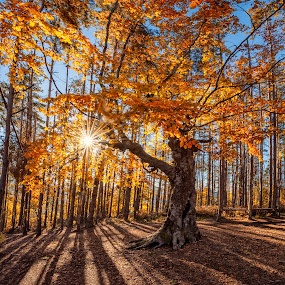 King of forest by Evgeni Ivanov - Landscapes Forests ( plant, tranquil scene, yellow, beauty, landscape, sun, nature, tree, autumn, vibrant color, idyllic, sunrays, gold, bulgaria, orange, forest, scenic, beauty in nature, vacations, vitality, shadows, red, environment, outdoors, background, view,  )