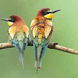Guêpier d'europe  by Thomas Deram - Animals Birds ( guêpier )