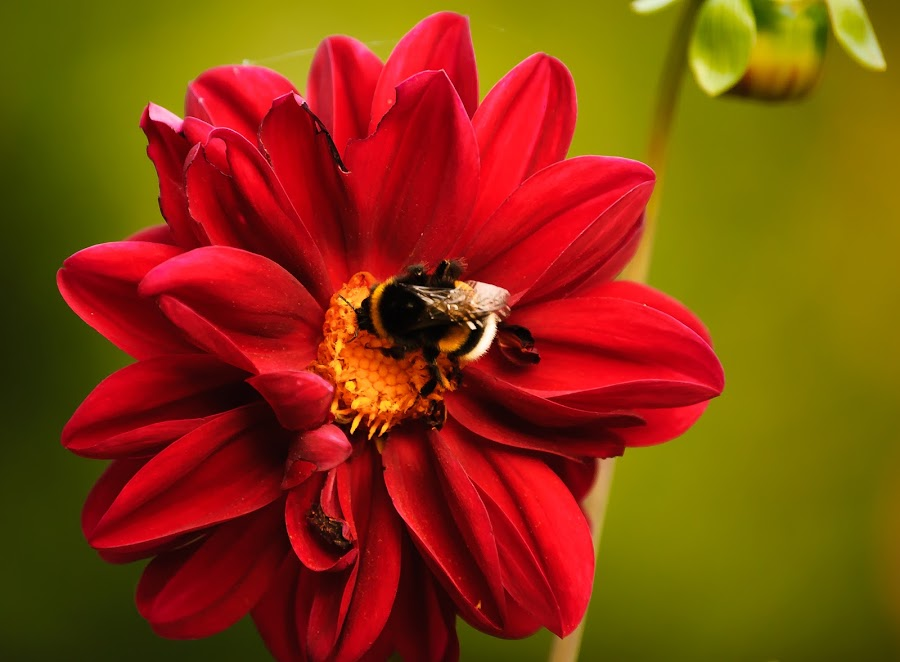 Wordelfull by Bogdan Mihai - Nature Up Close Flowers - 2011-2013 ( red, bee, green, superb, flower )