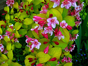 Photo: weigela 'Looymansii Aurea'