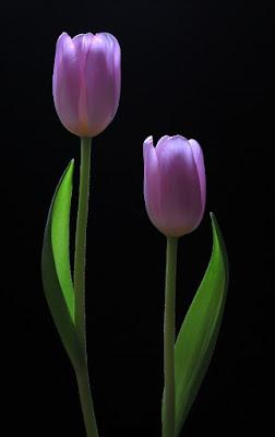 Due tulipani di utente cancellato