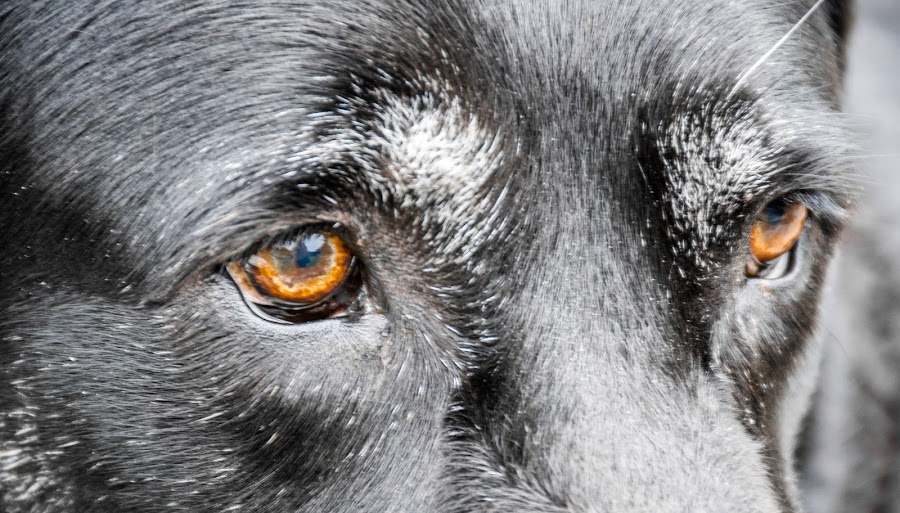 Brown Eyes by Thomas Shaw - Animals - Dogs Portraits ( hairy, brown eyes, brown, black lab, dog, hair, my dog, black, animal, black labrador, eyes,  )