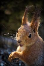 Photo: Red squirrel Sciurus vulgaris  #SquirrelSaturday