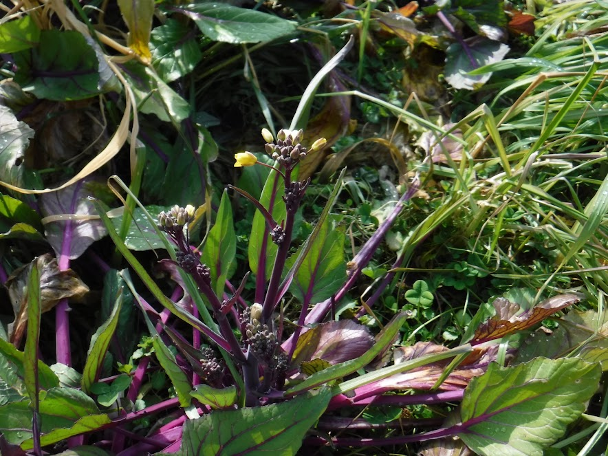 紅菜苔。1月の寒さの中でも花を咲かせます。近くに混植したクローバーもあります。