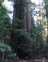 Photo: The massive California redwoods, Muir Woods.