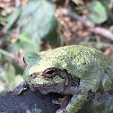 Cope's Gray Treefrog/Eastern Gray Treefrog