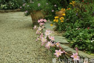 Photo: 拍攝地點: 梅峰-溫帶花卉區 拍攝植物: 韮蘭 拍攝日期:2012_07_18_FY