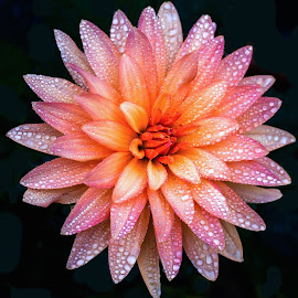 Morning Dahlia by Jim Downey - Flowers Single Flower ( orange, pink, dahlia, black, dewy )