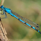 Caballito azul (Common bluet)