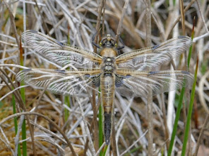 Photo: Freshly emerged 4-spot chaser dragonfly 17 May 2015 © Keith Gittens 2015