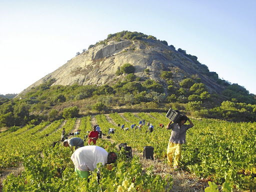 Plenty of work: Grape pickers in full work mode at the Perdeberg wine estate in the Western Cape. While there are 25% fewer producers than 10 years ago, employment numbers have not been affected. Picture: FILE PICTURE