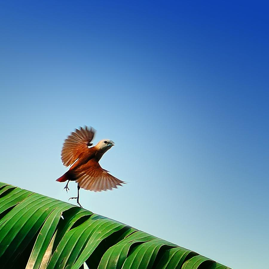 munia bird by Rhonny Dayusasono - Animals Birds