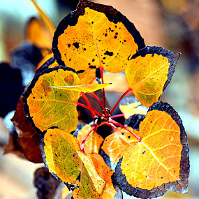 Aspen Flame* by Rob Bradshaw - Nature Up Close Leaves & Grasses ( fall leaves, aspen trees, leaves, leaves & grasses, aspen leaves, aspen, aspen flame )