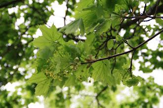 Photo: Hojas y flores de arce real (Acer platanoides)