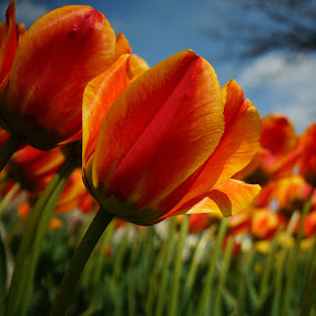 Tulips CloseUp by Susan Fries - Flowers Flower Gardens ( field, orange, closeup images, yellow, tulips, flowers, garden,  )