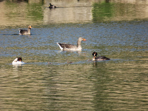 Photo: Trench Middle Pool ... and now the family is complete with both Dad and Mum: while the Greylag Geese look on. (Ed Wilson)