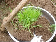Photo: 2-3 leaf stage seedlings at a field trial in Bhutan. [Photo courtesy of Kharma Lhendup, Bhutan, 2008]