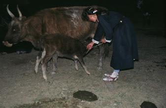 Photo: 03183 ブルド/ハスバータルイ家/牛の乳搾り
