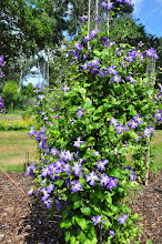 Photo: Clematis 'Jenny'  habitus