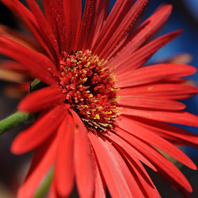 by Sudheer Hegde - Nature Up Close Flowers - 2011-2013 ( red, blue, color, green, blur, flowers, nikon )
