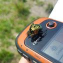 Escarabajo coprófago