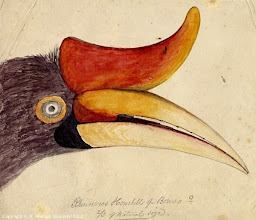 Photo: Watercolour painting of the head of a female rhinoceros hornbill from Sarawak by Wallace, probably in 1855. First published on this website in 2010. Copyright of scan and owner of Publication Right: A. R. Wallace Memorial Fund.