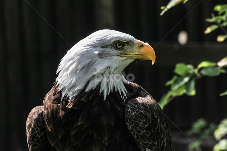 Dollar by Garry Chisholm - Animals Birds ( bird, garry chisholm, nature, bald eagle, wildlife, prey, raptor )