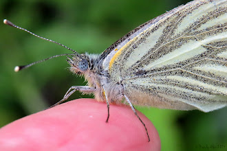 Photo: Green-veined White (Pieris napi) I found this butterfly at the edge of my little woodland and got quite close to it without it flying away. On a whim I put out my finger next to the grass it was perching on and lo and behold it climbed onto my finger! Now I didn't have a camera with me then (sod's law) so put the butterfly back on a leaf and went all the way back to the house to get it, not for one moment expecting it would still be there when I got back.  Well it was, and it happily came up on my finger again for a photo shoot! At first I thought it may have been freshly eclosed and not able to fly properly, but on closer inspection of some of my photos, it had quite a few nicks out of its wings, so unlikely it was freshly eclosed, so I don't know the reason for it being so docile. But I enjoyed the moment. :-)  For +On the Wings of Butterflies!curated by +Sharon Jeannette #onthewingsofbutterflies  and #buggyfriday +Buggy Friday Curators +Ray Bilcliff +Dorothy Pugh and#hqspmacro +HQSP Macro curated by +Chandro Ji +Terrie Gray +Sandrine Berjonneau +Didier Caron