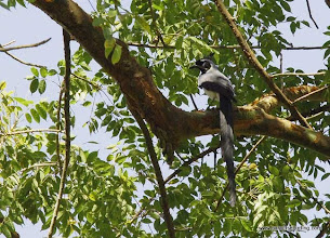 Photo: Black-throated Magpie-Jay perched at Singayta