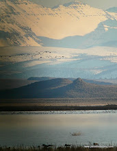 Photo: Early spring geese and ducks on Malheur Lake, Steens Mtn in the background