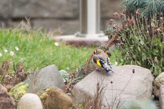 Photo: European Goldfinch (Stieglitz); Reinhardtsdorf, DE