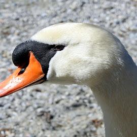 cigno by Patrizia Emiliani - Animals Birds ( cigno,  )