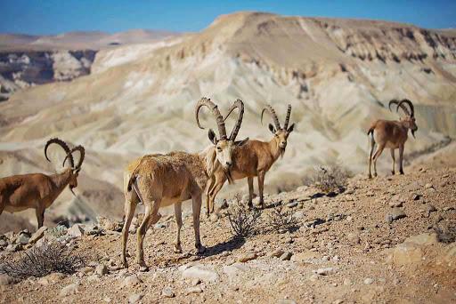 ibex.jpg - A herd of Nubian Ibex in the Negev Desert, Israel.