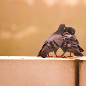 kissing by Mukesh Kumar - Animals Birds
