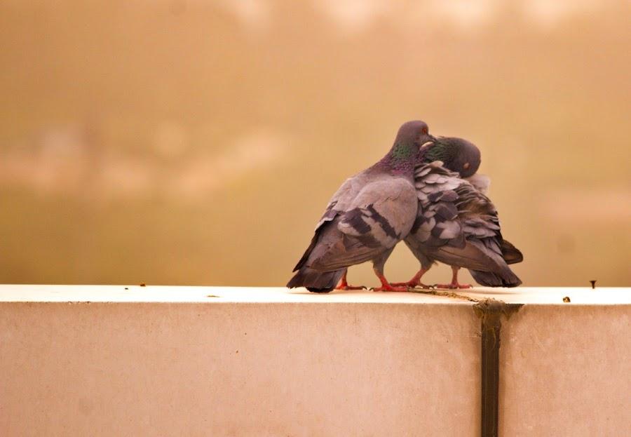 kissing by Mukesh Kumar - Animals Birds