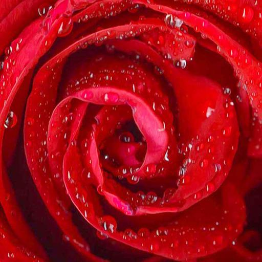 Gambar Bunga Mawar Kehujanan Gambar Terbaru Hd
