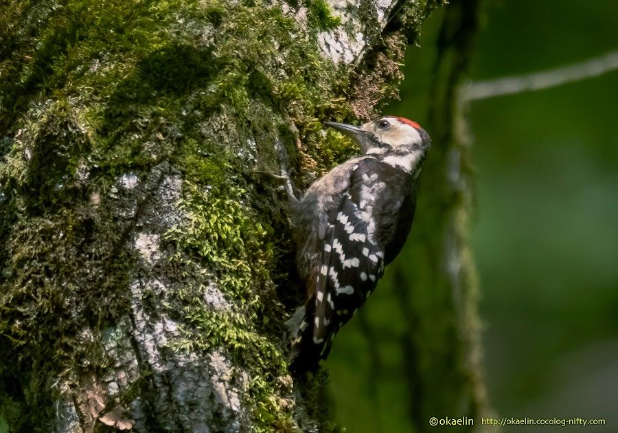 オオアカゲラ 幼鳥
