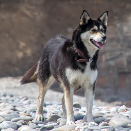 Husky by John Davies - Animals - Dogs Portraits ( husky, beach, pembrokeshire coast national park, abermawr, wales coastal path, dog, pembrokeshire coastal path )