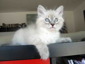 Photo: Quinlan (2 meses) Blue tabby point