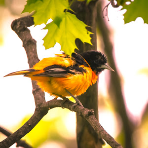 Northern Oriole Willowood May 2018 -0371.jpg