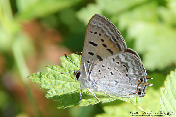Tailed Copper