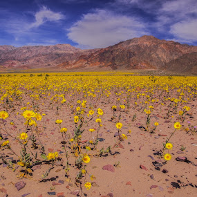 by Ramsey Samara - Landscapes Deserts ( wildflowers, superbloom, death valley, yellow, national parks )