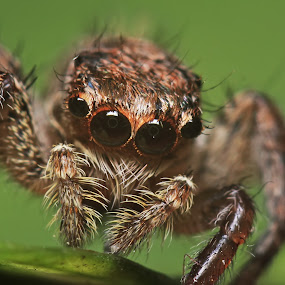 paykulli plexippus by Bhavya Joshi - Animals Insects & Spiders