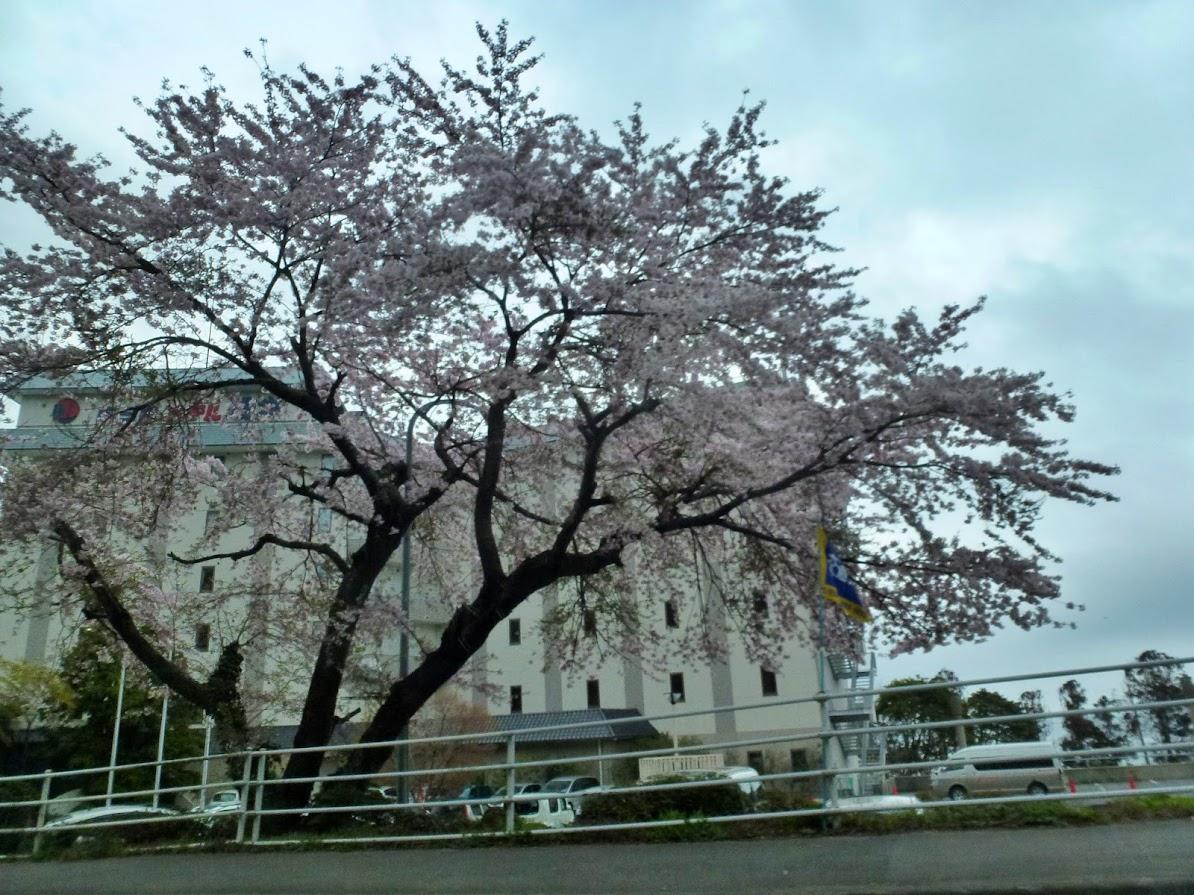 南三陸ホテル観洋さんの桜