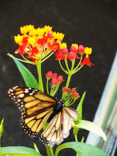 Photo: Monarch butterfly on yellow and red flowers at Cox Arboretum in Dayton, Ohio.